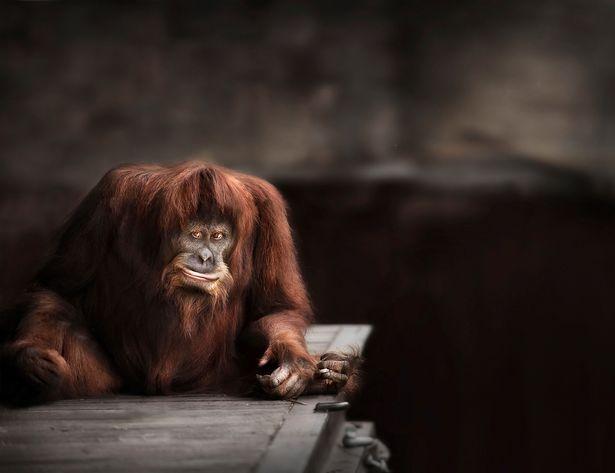 Sumatran Orangutan Looks