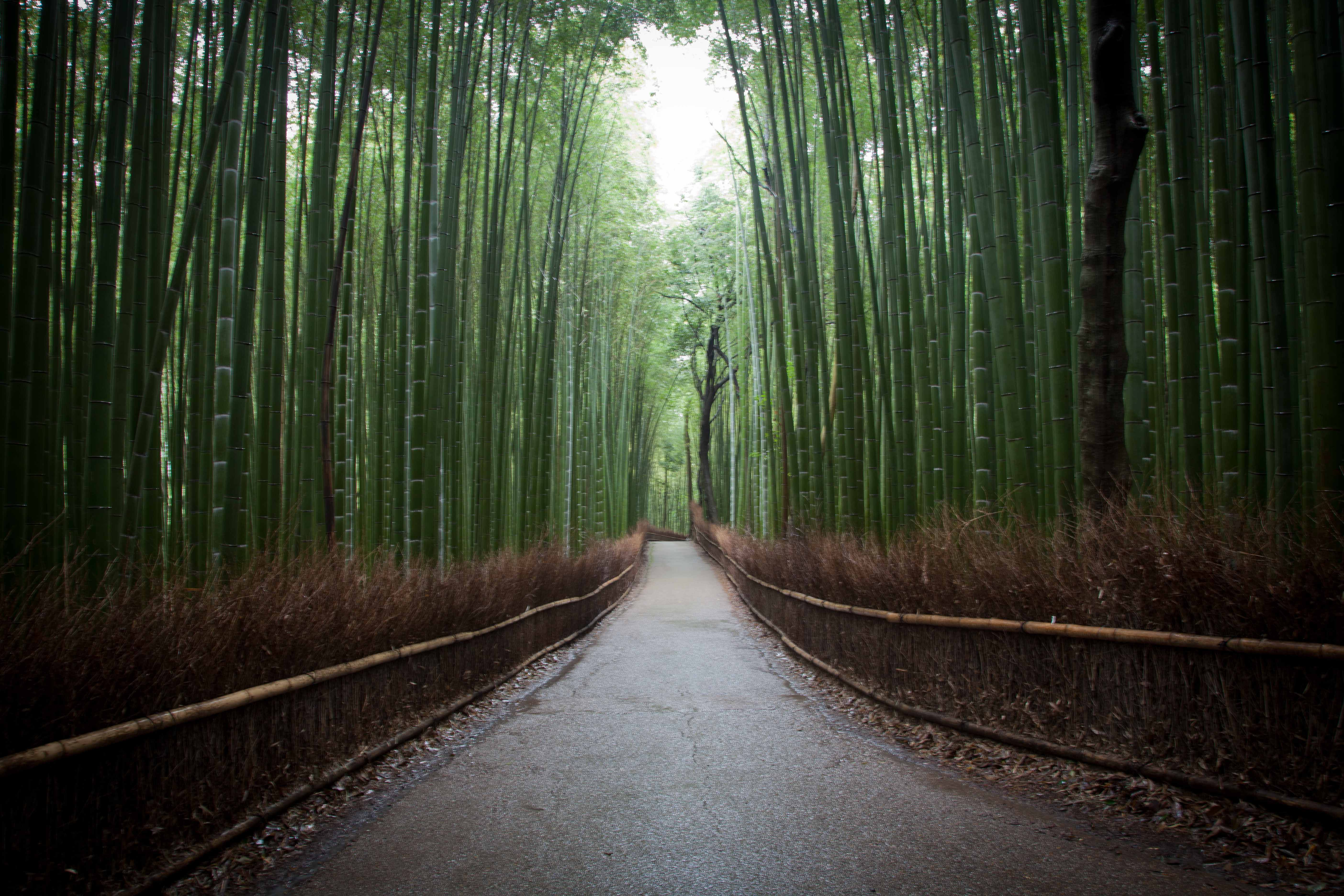 Bamboo groves of Arashiyama in Kyoto