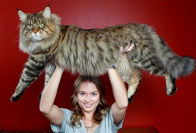 Biggest House Cat In The World 2016